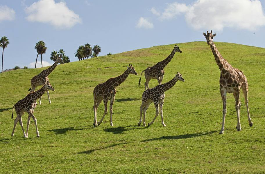 San Diego Zoo Safari Park Discount Tickets  Undercover Tourist